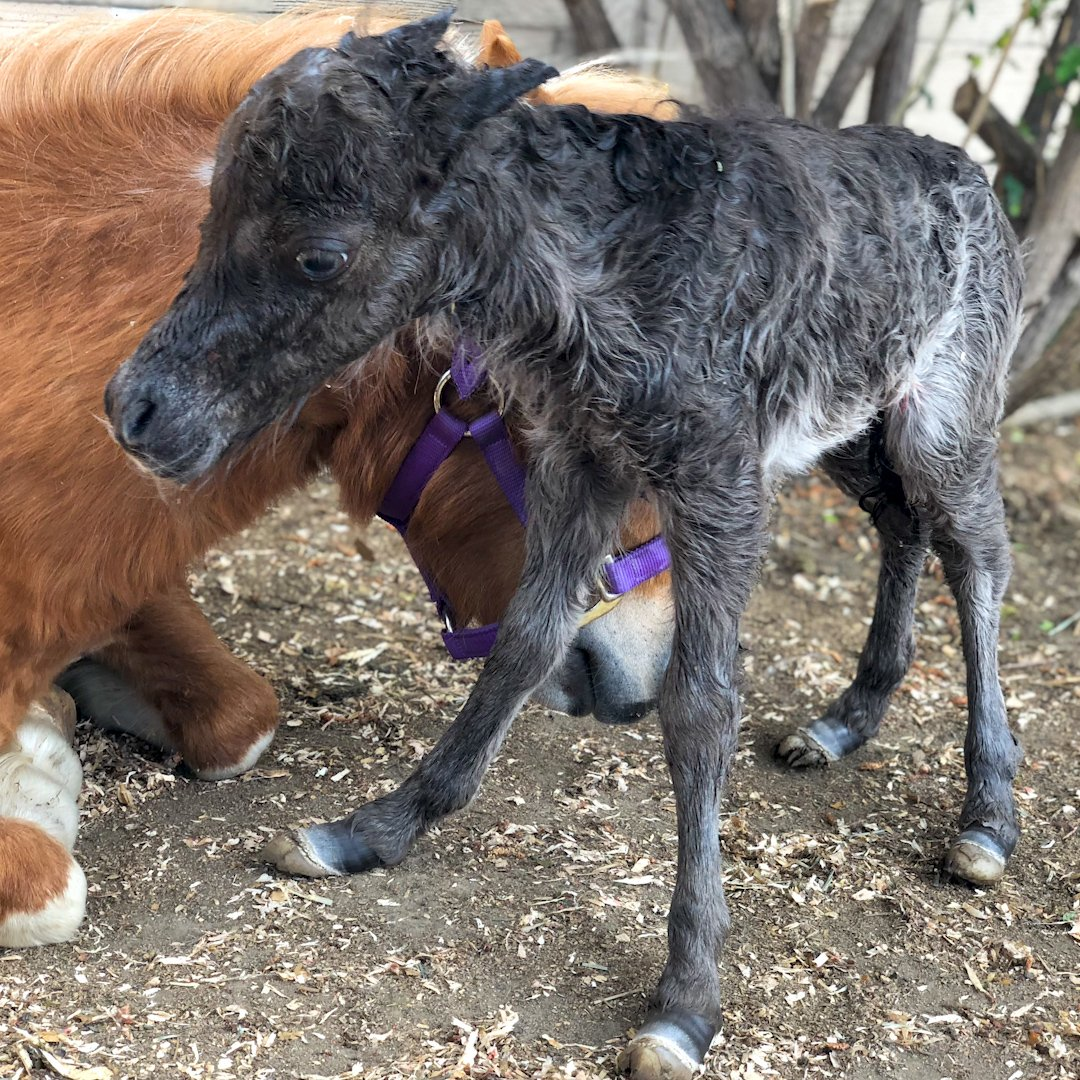 Baby mini horse born too small grows up into a bucking bronco!