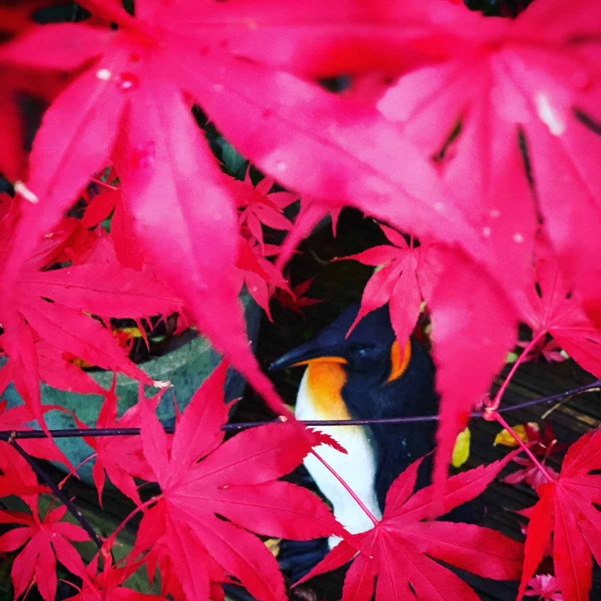 The Acer near my penguin is in the zone (where its leaves turn bright pink for a day or two before they fall off)