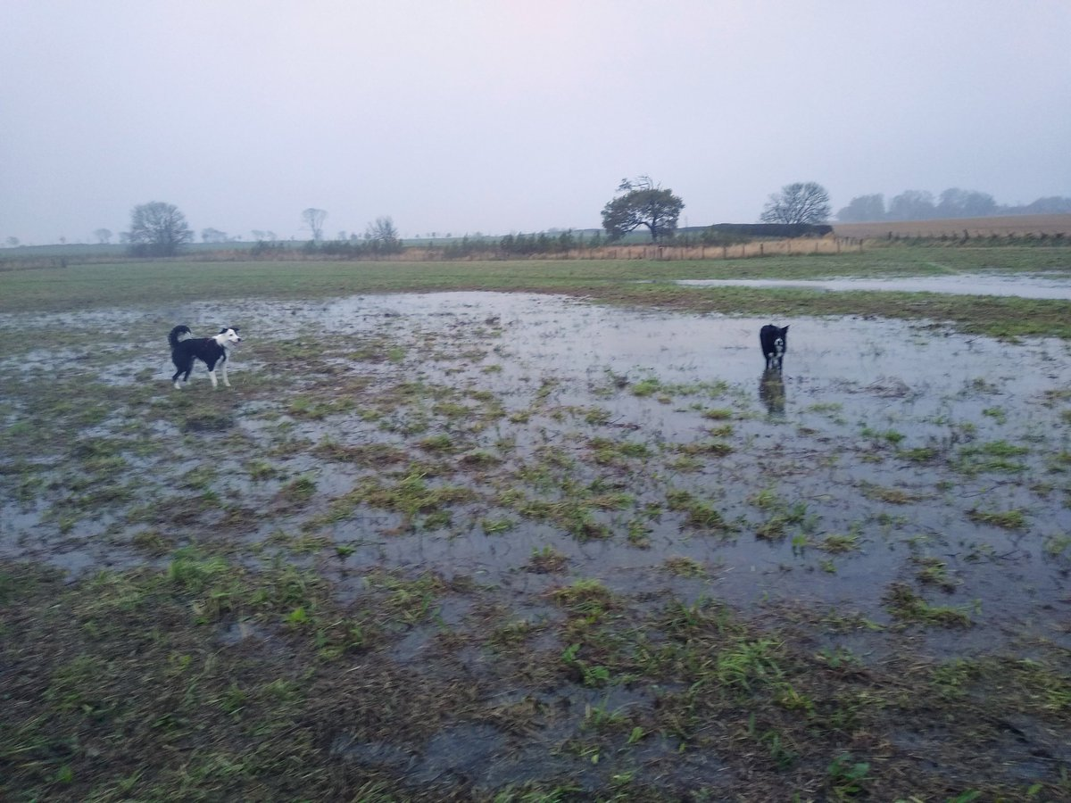 Cold, wet, and windy - classic Scottish weather ;) braved it, and the boys had a fab time in the giant puddles (aka the flooded field).  Humans? Not so much 😂  #howdoyoukeepyourhoodup #socold #wetthrough #dogsoftwitter #bordercollies #happyboys #Scottishweather