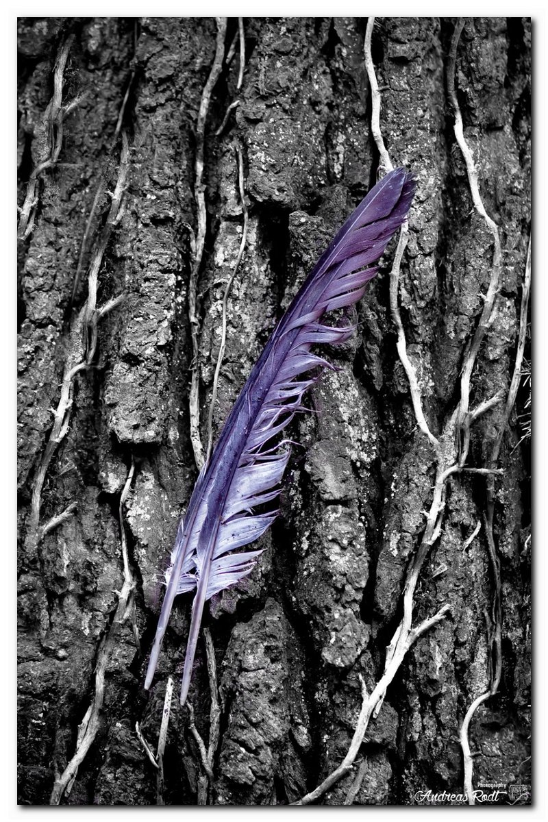 Feathered finds  #colorsplash #colorkey #colorpop #natuurfotografie #liebezurnatur #feather #forest #tree #woods #nature #naturephotography #inspire #feathers #natureonly #textures #natureza #natureart #naturepics #photography #nikonphotography #texture #feder #art #ArtLoverspic.twitter.com/8agi45IYYX