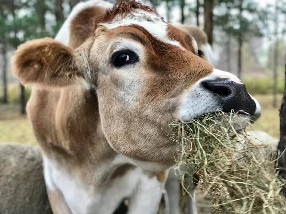 Mom I know I'm dreamy, but must you take pics when my mouth is full? #ashasanctuary #albertthesupercow #cute #cutie #dreamy #mcdreamy #cows #friendsnotfood #bekind #bethechange #compassion #rescue #love #animals #safe #happy #lovedpic.twitter.com/KvDwErni2i