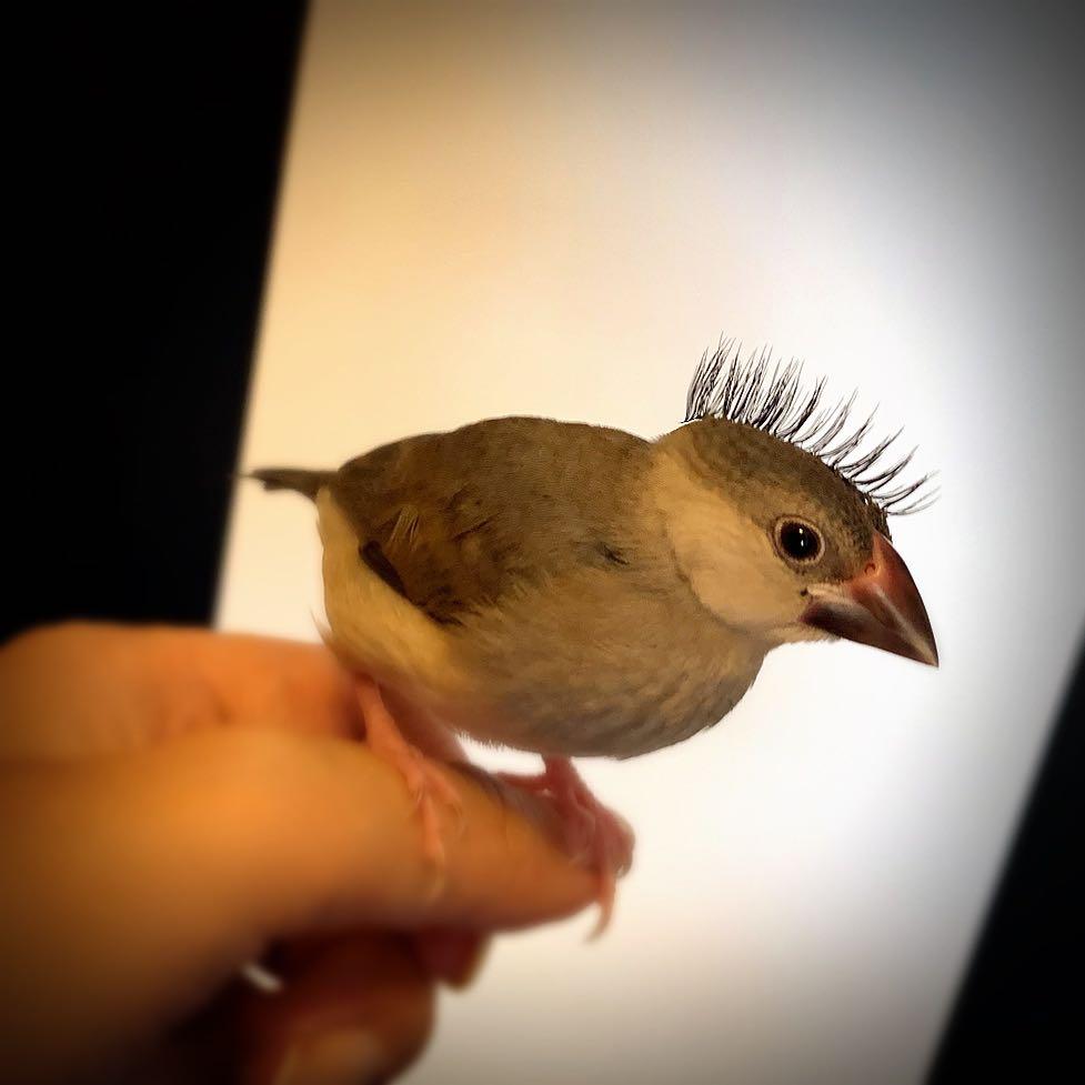 つけまを突っついては放り投げて…を延々繰り返してたのは知ってた。で、見たらこれw 突然自分の視界から遊んでたつけま消えただろうね🤣www #桜文鳥 #PUNK