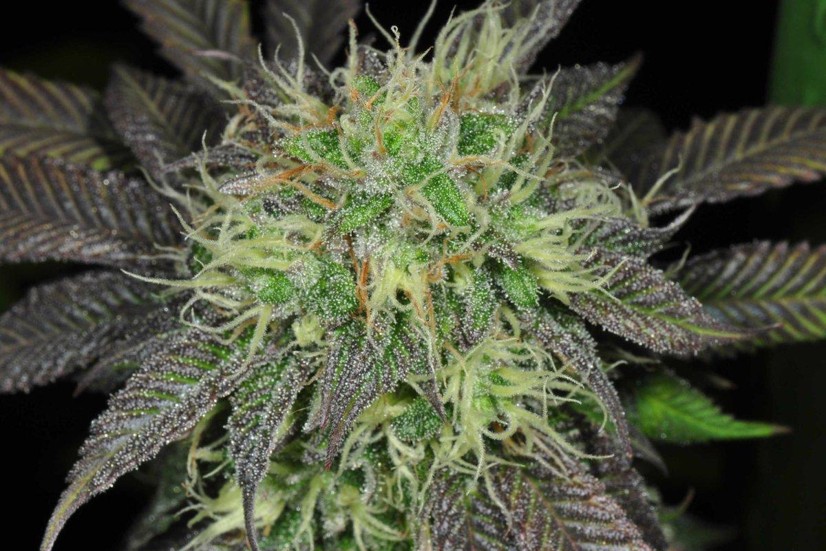 Содержит тгк марихуана домашних марихуану условиях чем удобрять в