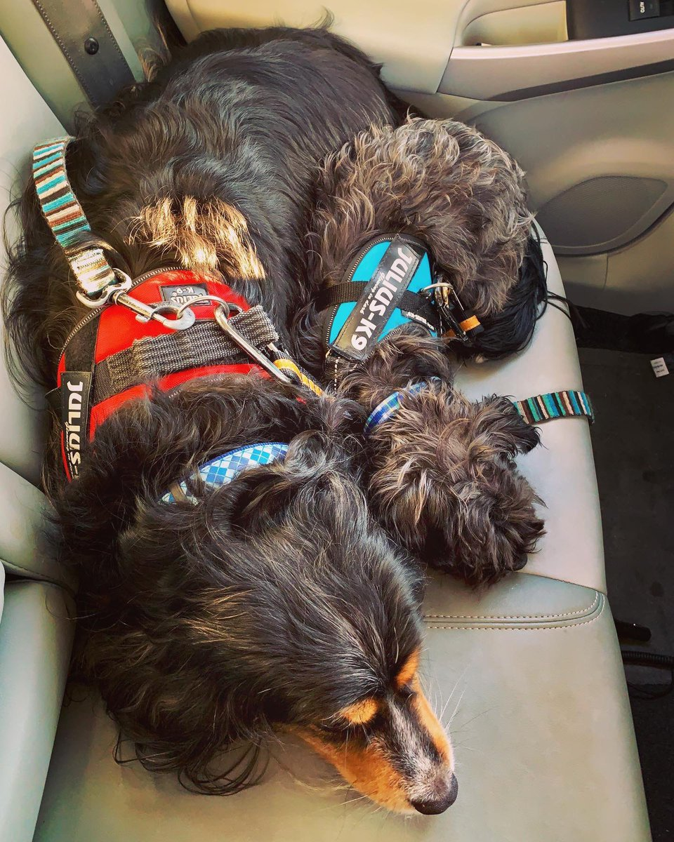 Tethered to seat belts, & to each other. This is my quarterly reminder to harness & belt your pups when they are in cars. Without his safety belt, Franklin (left) would have surely died in the 2016 car crash that left Sherrod battered & bruised, but both of them very much alive.