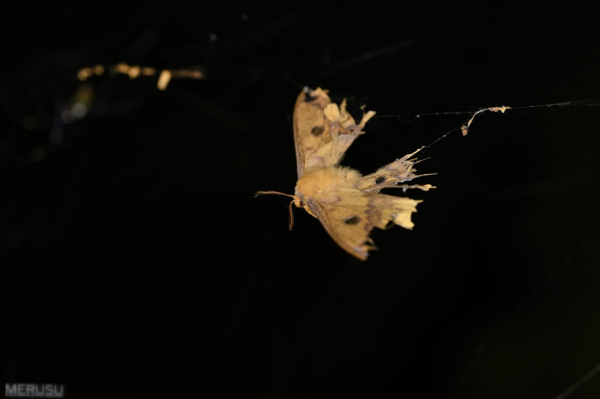 鯣烏賊 on Twitter: もうたすからない。(11/21) #photography #bugphoto #bugphotography #moth #ウスタビガ…