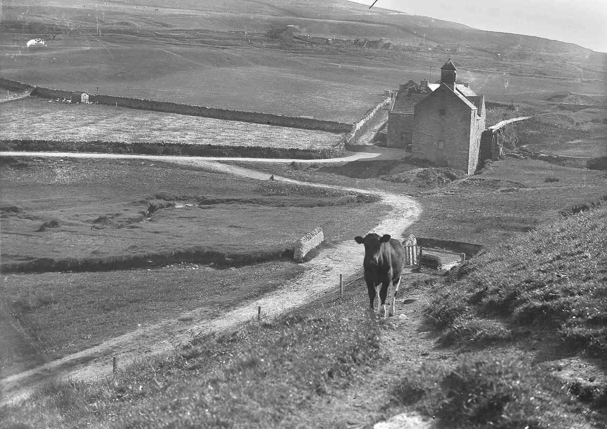 Back in the old days in #Orkney it was only the very wealthiest cows that could afford to have a portrait photographer visit them at home. #PhotographicArchives