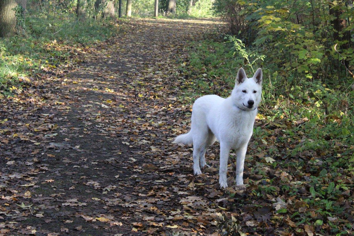 #whitedog #whitesheperd #witteherder #puppy #puppylove #puppyinstagram #puppy #dogoftheday #doginstagram #dogblogger #doginsta #instagramdogs # #instadogs  #nofilter #swissshepherd #swissshepherdpuppy#canon2000d #canonphotography #dogfotography #whiteshepherdworld #happydogpic.twitter.com/9G2PBlu61A