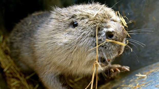 The British solution to beat flooding: Bring back beavers