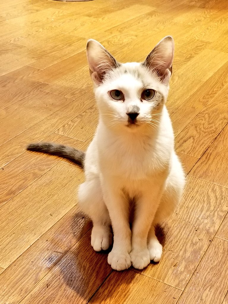 猫見家でもお支払い時に、クレジットカードが使えるようになりました!!※一部使えないカードもございますので、ご了承ください、、、m(*_ _)mキラーンな目つきの、ローズ様😏#保護猫カフェ #猫見家 #宇都宮 #保護猫