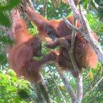 Image for the Tweet beginning: Orangutan Drama In Borneo at