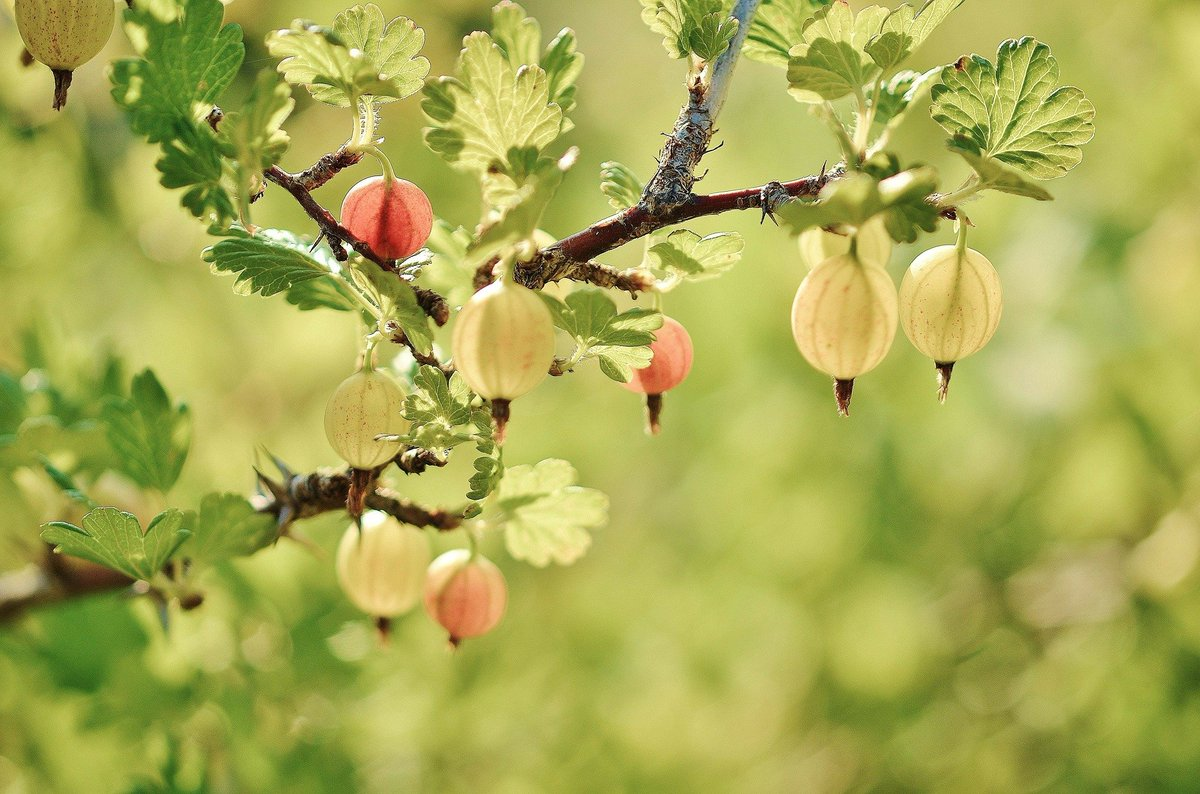 Gooseberries are a great addition to your diet!  http://anationofmoms.com/2019/11/gooseberries-benefits.html  … #health  #healthyeating  #gooseberries  #wellness  #superfoods  #healthyliving