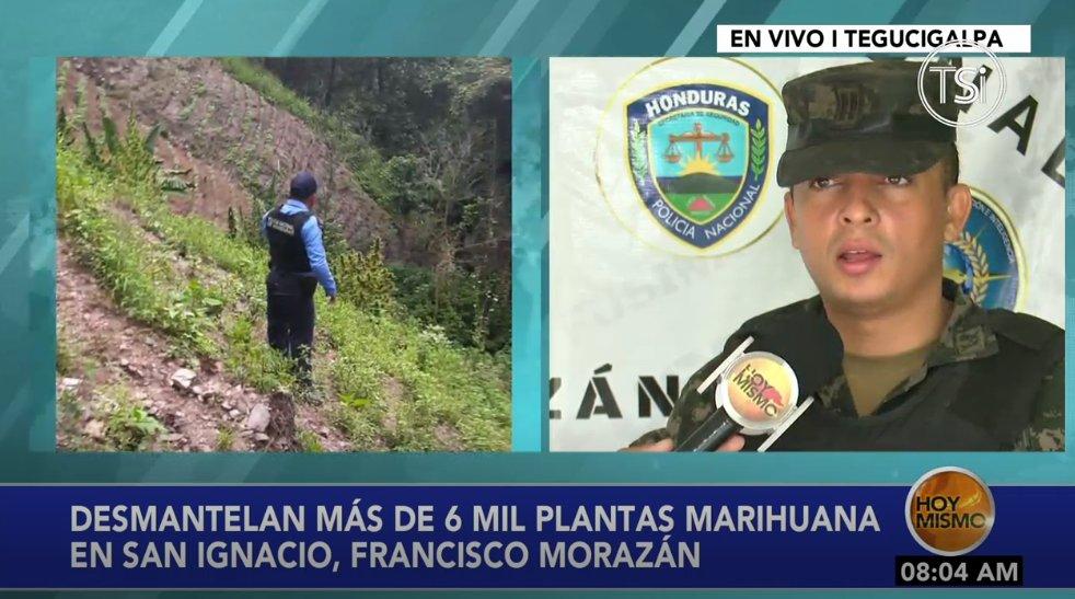 #HoyMismo #PrimeraEdición Policía Nacional desmantelan más de 6 mil plantas de marihuana en San Ignacio, Francisco Morazán.