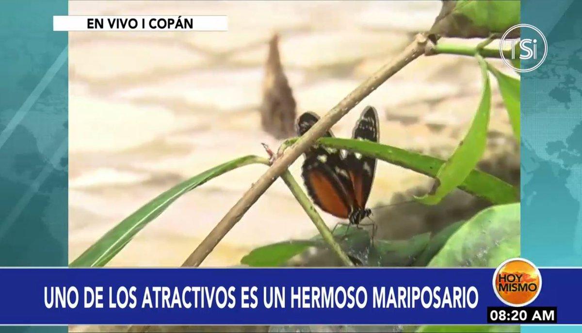 [𝗘𝗡 𝗩𝗜𝗩𝗢] 🔴 |En #HoyMismo #PrimeraEdición, el mariposario de Copán Ruinas es uno de los atractivos que ofrece a los turistas que visitan la ciudad.