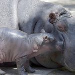 Image for the Tweet beginning: Colombian Hippos: Unnatural Terror or