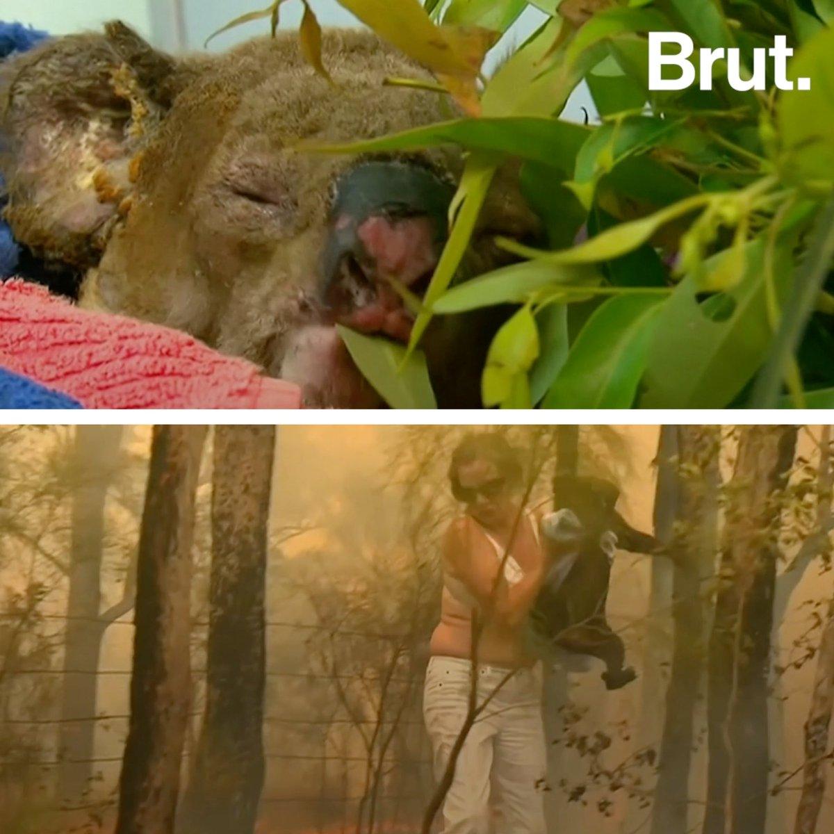 Que devient le koala piégé par les flammes et secouru par une courageuse Australienne ? Soigné dans un hôpital pour koalas, lanimal gravement brûlé vient de recevoir la visite de celle qui la secouru. Voilà leurs retrouvailles.