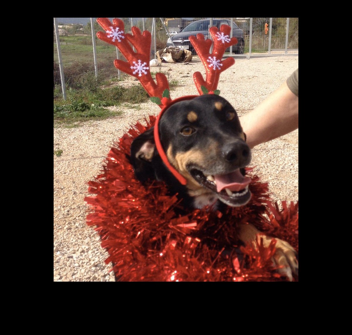 3 year old Clyde is preparing for #Christmas ! He's a lovely, #Grateful friendly boy, whose Christmas wish is to find a loving #home & #family to belong to in #uk #Germany  #NL ? Could you make his #DreamComeTrue   #AdoptDontShop #ADOPT #dog #dogsarefamily #DogLover #CuteDog<br>http://pic.twitter.com/d9LxCS8SPB