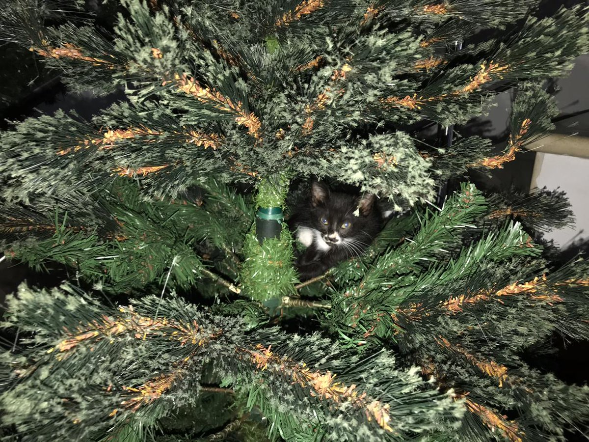 Great adventures indoor or outdoors #catsoftwitter lost for about 20 min 😻😻😻😹😹😹 was  Sleepy at christmass tree, everyday is #caturday