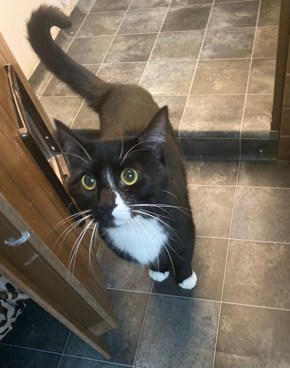ADOPT A CAT: Spike, 1 & ½ year old, indoor, friendly, black & white male cat. Full details:   https:// bit.ly/2D3KOvA      #AdoptDontShop #CatsProtection<br>http://pic.twitter.com/DXZVw2bv73