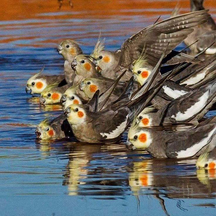 Boa noite galera das Psitas lindas....#calopsita #calopsitas #calopsitasmansas #calopsitamansa #psitas #psita  #aves #ave #avesbrasil #lutino #calopsitalutino #calopsitabrasil #calopsita_brasil #passaro #passaros #passarosdobrasil #cockatiel #bird #birb #birds #birbs #🐦