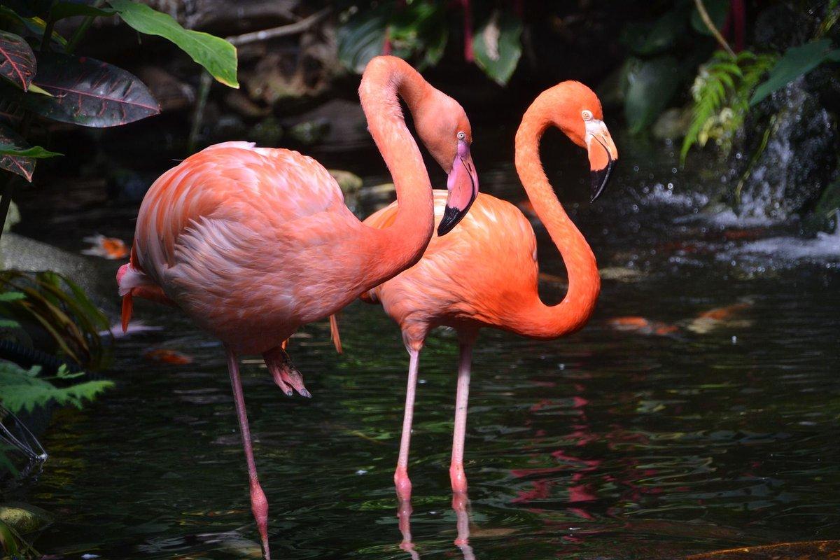 Розовый фламинго фото и картинки