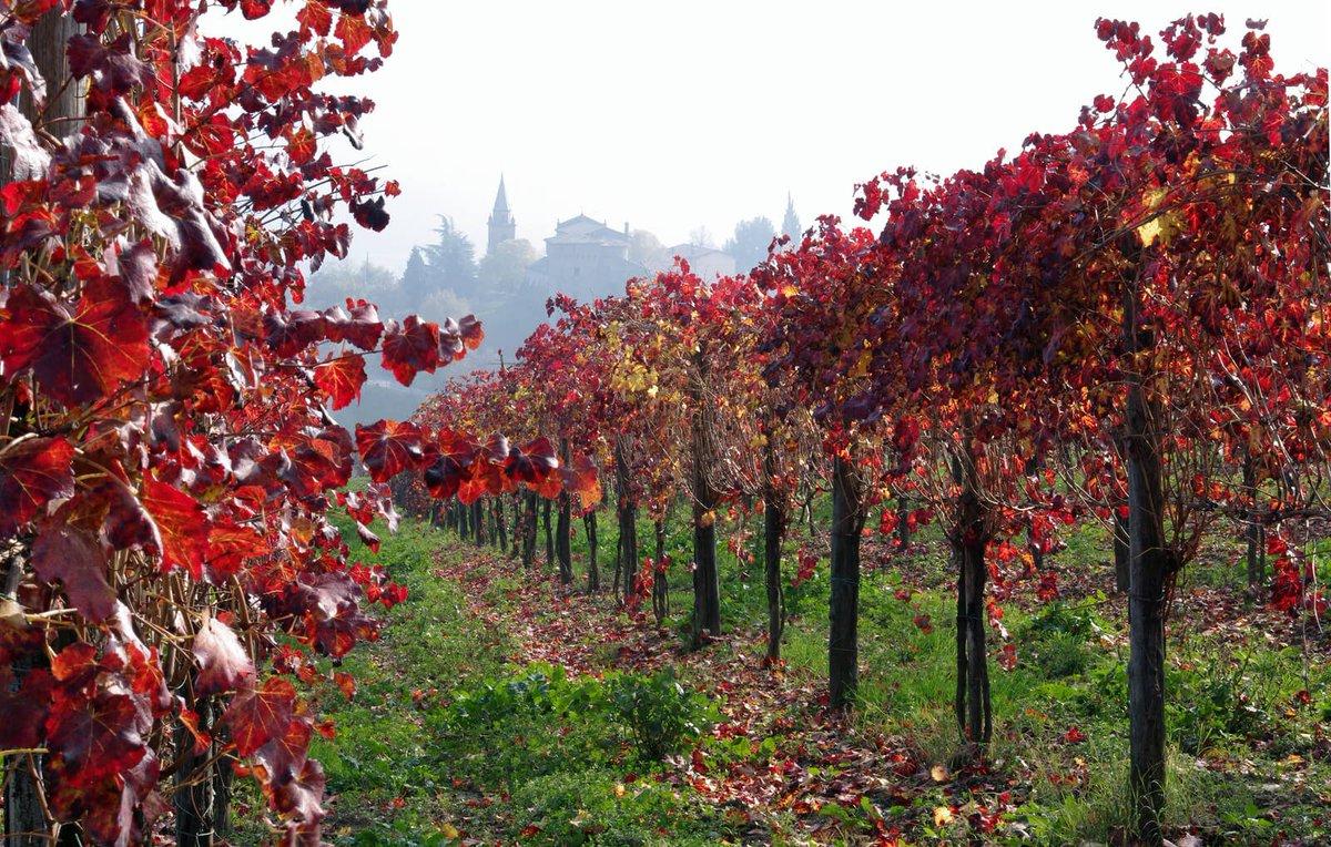 The Lambrusco vineyards in Castelvetro, Emilia-Romagna are beautiful this time of year! #osdia #getyouritalianon