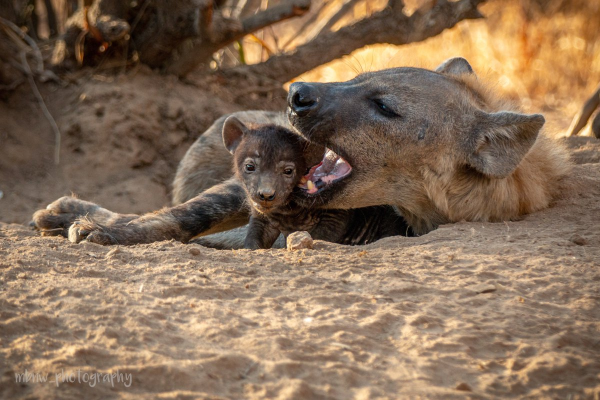 Thank you so much Martina Baumeler for your fantastic photos taken whilst on the African Wildlife Photography and Conservation Project   Find out more about volunteering: https://www.amanzitravel.com/african-wildlife-photography-and-conservation-project…  To see more of Martina's beautiful photos:  Check https://www.instagram.com/mbnw_photography/…pic.twitter.com/94otVPWPrf