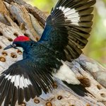 Image for the Tweet beginning: Acorn Woodpeckers are best known
