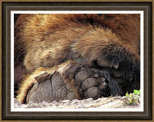 The weekend is almost over. Kick back and relax. Hopefully no one tickles your feet!!!,See Dont Tickle and more Bear Photography at  https://bit.ly/2X1E3nx    #bear  #blackbear  #bearpaw  #nature  #wildlife  #wildlifephotography  #bearphotography  #sunday  #sundayfeeling  #wildlifelovers