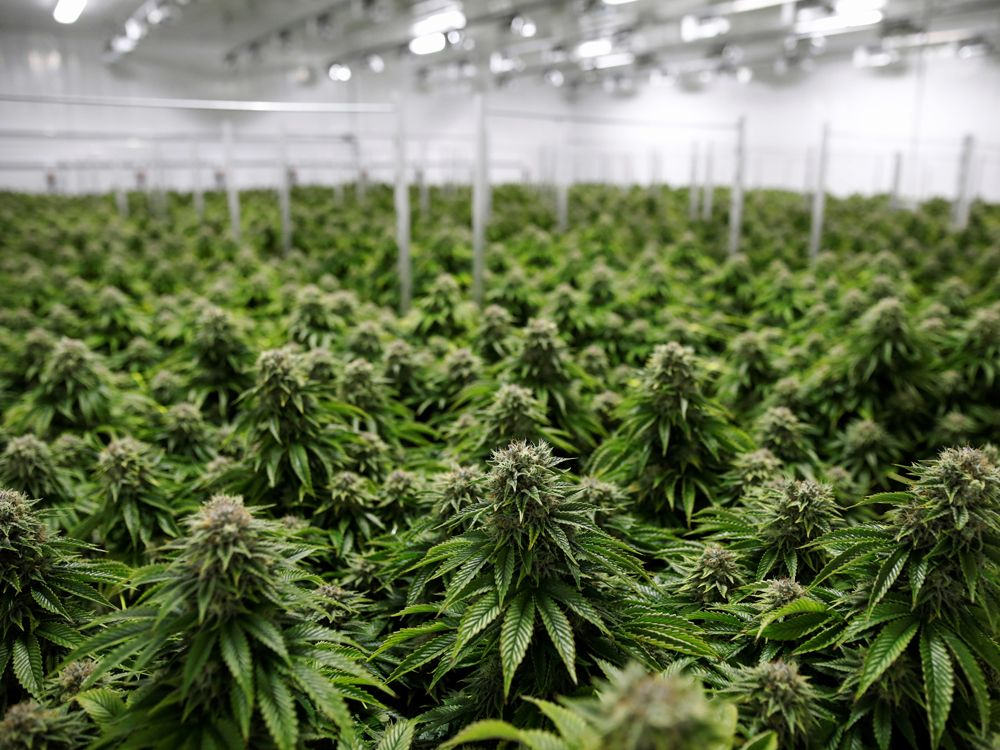 Weed surplus: Canadian cannabis producers are sitting on a mountain of inventory.  https:// business.financialpost.com/cannabis/too-m uch-weed-canadian-cannabis-producers-are-sitting-on-a-mountain-of-inventory-and-its-making-some-industry-watchers-nervous  … <br>http://pic.twitter.com/9DNBs6NE6J