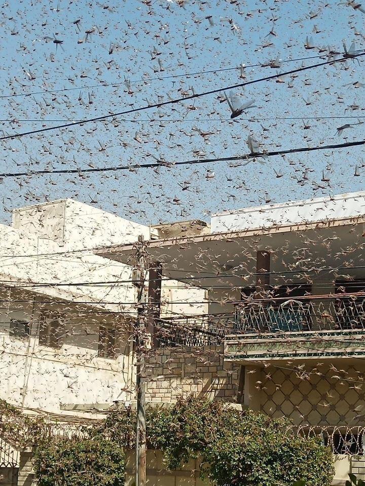 karachi locust