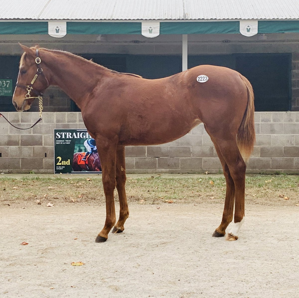 test Twitter Media - Another chestnut filly by a son of Tapit..hope this filly follows suit. Hip 2223 by freshman sire @coolmorestud Cupid gets added to the roster today @keenelandsales thanks to Steve Weston for letting me buy one of my favorite physicals on the day. https://t.co/fPg7ynGWl2