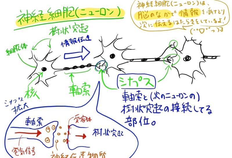 人工ニューロンの前に生体ニューロンの解説書いたけどすごく高校生物思い出したよ!書いた記事→ ー