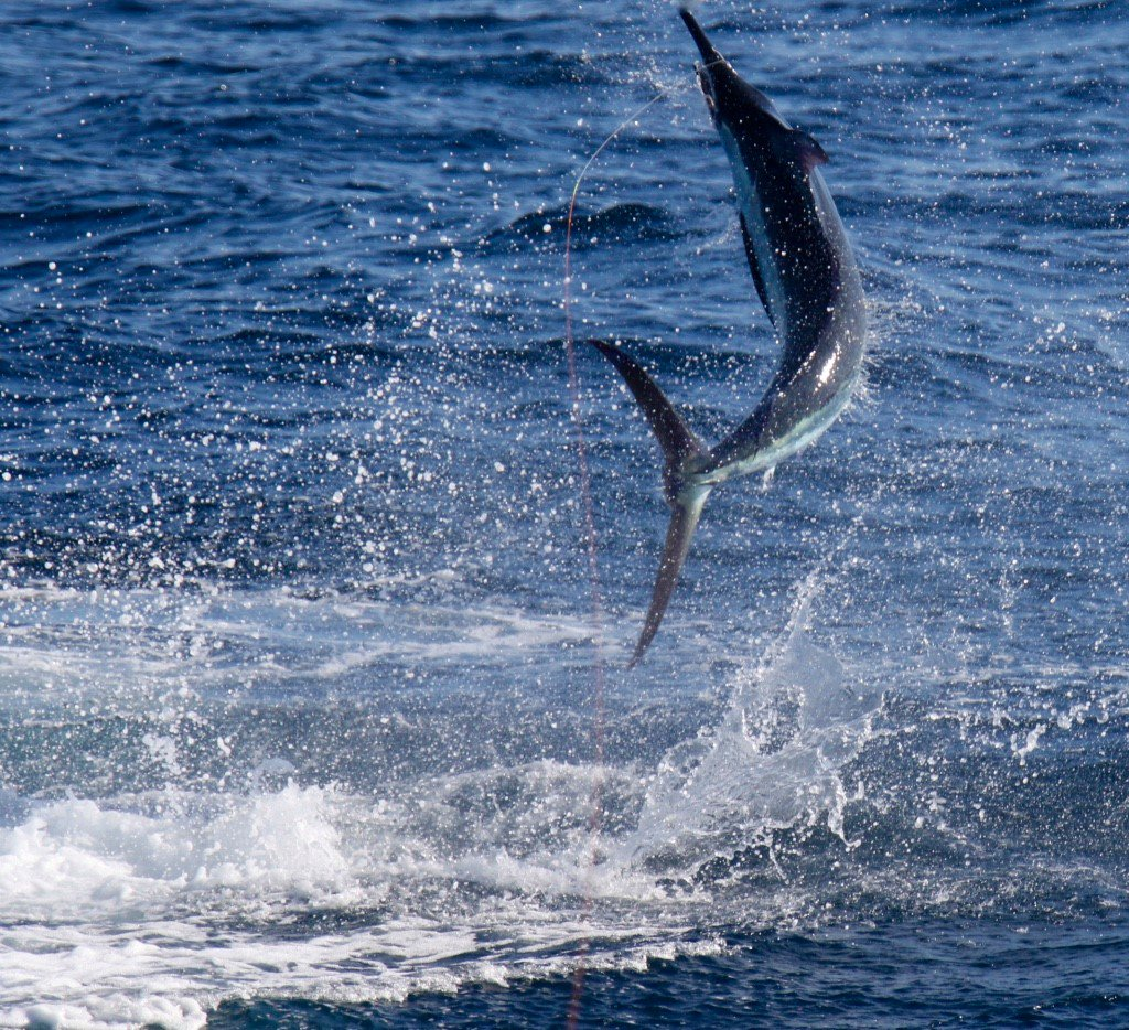 Guatemala - Decisive went 2-4 on Blue Marlin and released 18 Sailfish.