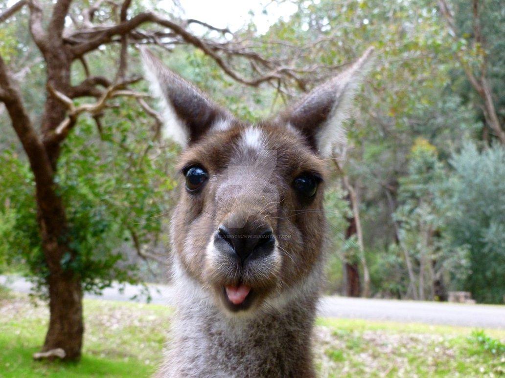 смешные картинки кенгуру