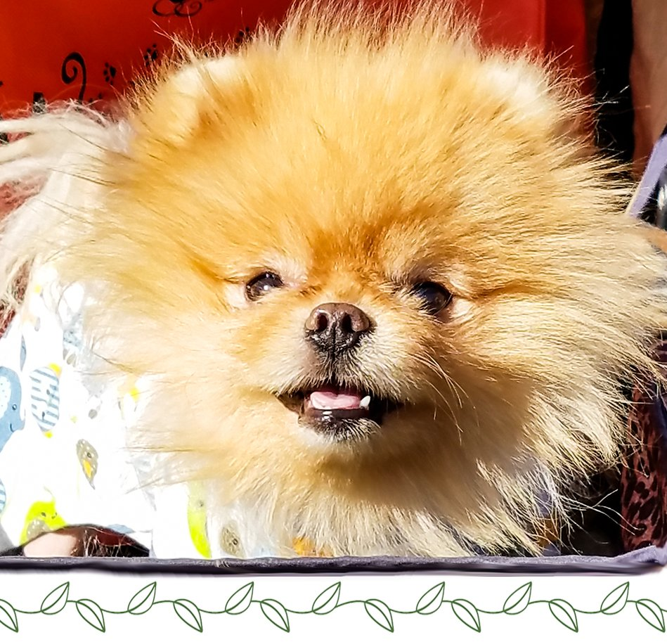 Look at this baby lion-aka @Yum Yum!  We met him at #woofstock and recommend #Spinaorganics fur detangler to keep his coiffe smooth and shiny. #yumyumpup  #pomeraniansofinsta #pomeranian #dogsofinsta  #spinaorganicspic.twitter.com/jp4f4LfM2r