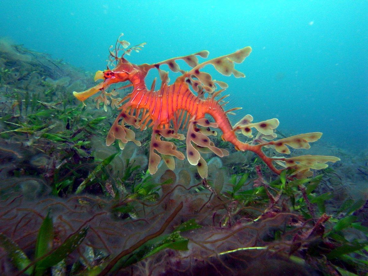 морские драконы охотского моря фото описание хранили свежей