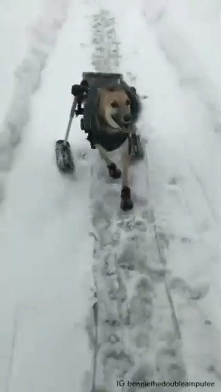 This is Bennie. He was hit by a car as a puppy and lost both his back legs. Today, his owner added skis to his assistive cart, and he couldn't be happier. 14/10