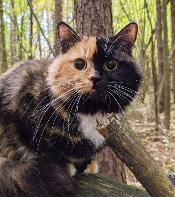 秋がお似合い😺🍂キレイに分かれたツーフェース 美しく成長したキメラ猫ちゃんが大人気 -  @itm_nlabzoo