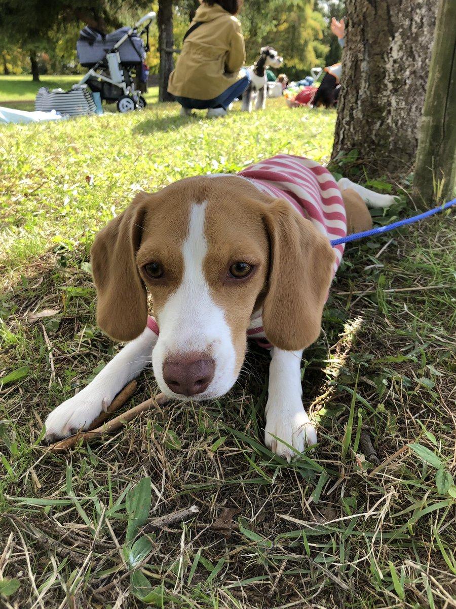 今日は保育園の日だー 写真は、先日の遠足と、保育での風景   #ビーグル #ビーグル犬 #beagle #ビーグル牧場  #犬の保育園 pic.twitter.com/E7nSQ27rqR