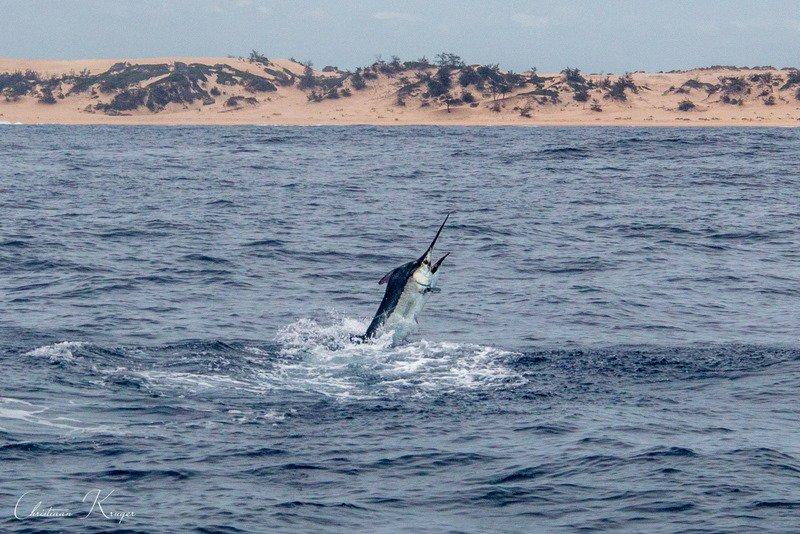 Bazaruto, Mozambique - Vamizi released a Black Marlin.