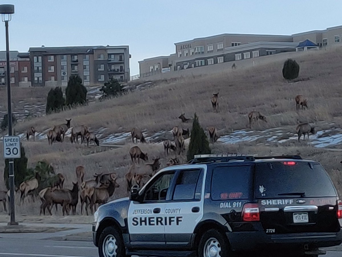It was a #Golden rush hour at the JCSO! We had a few visitors in the early morning. A great reminder to please be aware of wildlife on or near the roads. We all want get to our destination safely. #wildlife #RoadSafety #Jeffco @JeffcoOpenSpace @JeffcoColorado