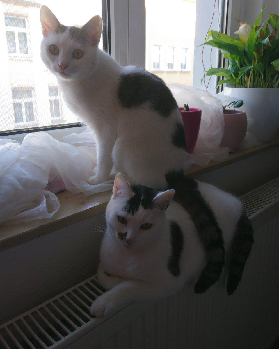 """""""Ich leg meinen Schwanz mal da ab."""" Sachen die du nur in ein Gespräch einfließen lassen kannst, wenn du eine Katze hast. #nanami #kazumi #kleinerbruder #großeschwester #akikoyuzuki #catlife #katzenliebe #nekopic.twitter.com/CcPqQ9npkP"""