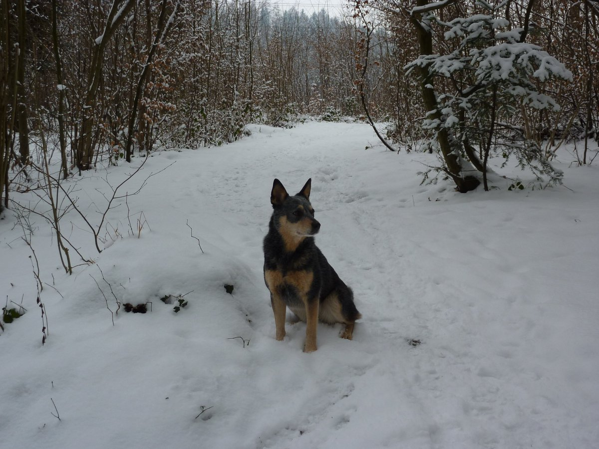 #ThrowbackThursday to Winter 2010 with #RipEmber #RIPEmber 🐶🌈 in the snow ❄️.  #ACDS #Cattledog #AustralianCattledog #Heeler #BlueHeeler #dogs #dogsoftwitter #dogcelebration @dogcelebration