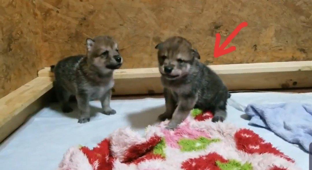 そして右の子は1年半後にこうなるのだ#狼犬 #オオカミ犬 #ウルフドッグ #wolfdog