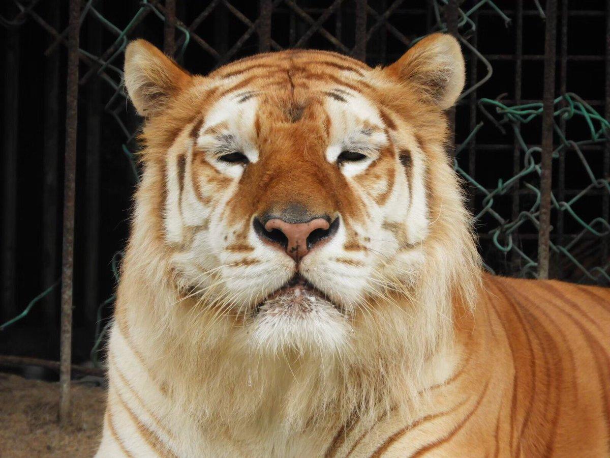 本日も通常運転のボルタ🐯眠そうなお顔がかわいいですね😍#寒くなってきたね#皆様もお身体にお気をつけください#ボルタのいる生活 #tiger#ベンガルトラ