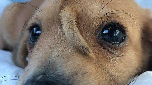 3000RT:【反響】子犬の頭に2本目の「しっぽ」、米ミズーリ州で保護額から生えている尾は骨などにはつながっておらず、痛みなどの原因にはなっていないため、現時点で切除の必要はないという。