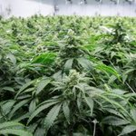 Image for the Tweet beginning: #marijuana #cannabis #news-  TORONTO — Canadian