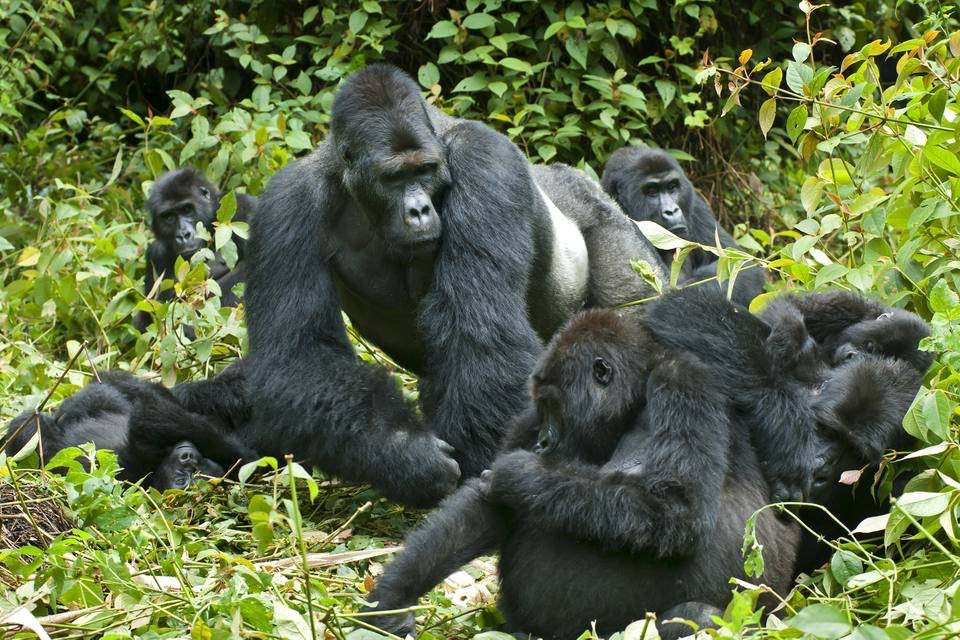 we take you through the all of #gorilllasafariexperience #Ugandagorillasafari #gorillasafariUganda #Ugandagorillatrekkingsafari #gorillatrekkingsafariinuganda #Ugandagorillatour #Ugandagorillatrekkingtour https://t.co/MsSoWl8Ywn