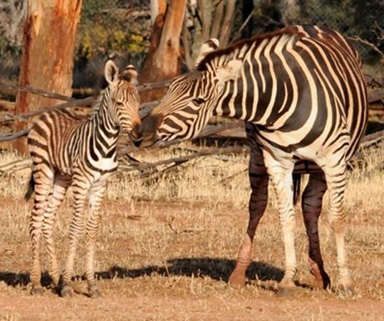 UPDATE: @ZoosSA has released photos of Kali the zebra, who was featured in our story, and her new foal, born last week. https://t.co/myyeirK0EF https://t.co/bXId1Jt3TM