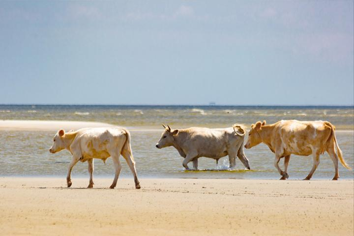Hurricane Dorian swept swimming cows 2 miles to North Carolina beach